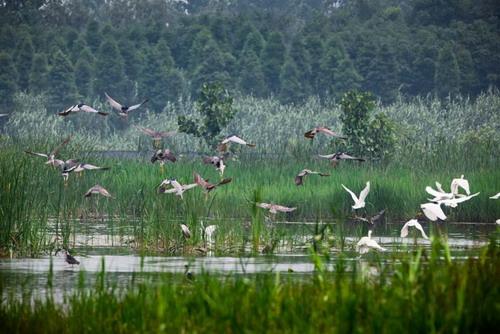 其中有国家一类保护动物丹顶鹤,国家二类保护动物白天鹅,白枕鹤,白鹇